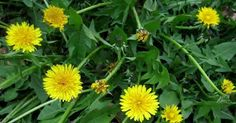 How to Use Dandelion? What Are the Benefits of Dandelion? Fitness Motivation, Fitness Diet, Health Fitness, Phil Heath, Vitamins For Immune System, Dandelion Benefits, Vegan Vitamins, New Inventions, Medicinal Plants