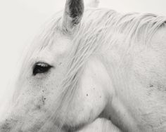 White Horse Profile, White Horse Photograph, 8x10, Equestrian Art, Beautiful Horse Art