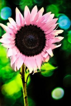 pink sunflower...I must find these...so pretty