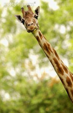 I crazy love giraffes