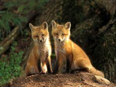 Fox high resolution stock photo.