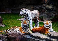Fractalius trio of bengal tigers