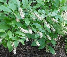 Itea virginica | Native Plant Center