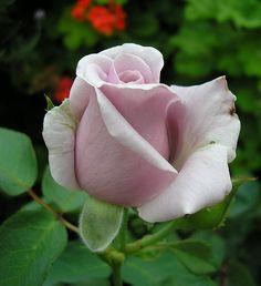 sterling rose for the flower!