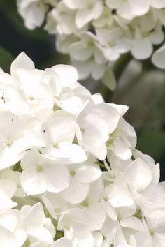 Er+zijn+verschillende+soorten+hortensia's.