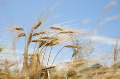 Ears of emmer wheat, a crop first farmed in the Fertile Crescent more than 10,000 years ago.