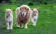 Especially the wild life lovers, keen to see the Rare White Lion Pictures to feel the amazing beauty of wild life. The rare white lions are not albinos but Lion Hd Wallpaper, Wild Animal Wallpaper, Tier Wallpaper, Desktop Wallpapers, Hd Backgrounds, Animals Images, Nature Animals, Baby Animals, Cute Animals