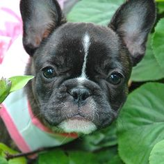 Seriously...Who can resist Little Doris? The adorable French Bulldog Puppy