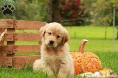 Cuteness overload! Check out these beautiful puppies available from top breeders!