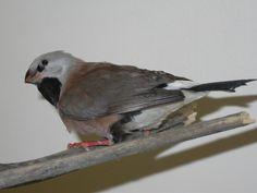 Finch - Parson's Finches, Parrot, Birds, Animals, Parrot Bird, Chaffinch, Animaux, Bird, Parrots