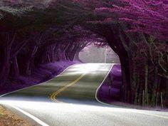 Tree Tunnel, Highway 1, California