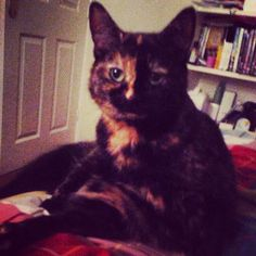 Indy. Gorgeous Tortoiseshell cat
