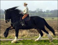 Shire Horse -Cracker, 16-year-old Shire Horse is the tallest horse in Britain--he's 19 hands, 2 inches, or  78 inches -- 6 feet, 6 inches at the shoulder.  The tip of his ear on that picture, left, is maybe 8 feet from the ground.  (The gait, by the way, is the canter.)