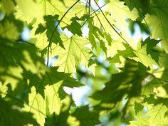 CC IMage Leaves, Summer, Green, Maple, Season, Tree, Leaf