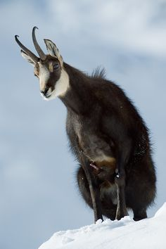 Chamois is a species of Goat- Antelope. Found in the mountains of Central Europe. Wild Animals Pictures, Animal Pictures, Rare Animals, Animals And Pets, Parc National, National Parks, What Animal Are You, Natur Tattoos, Big Horn Sheep