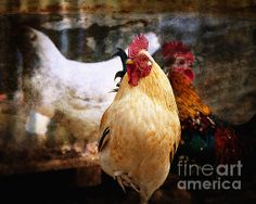 King of the Chicken Coop - photograph by Lee Craig. Fine art prints and posters for sale. #leecraig #rooster #fineartphotography