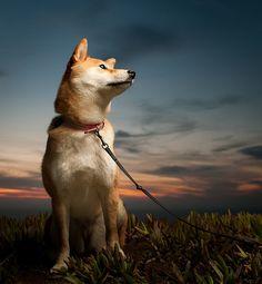 Shiba Inu Watching the sunset. My spike is Shiba Inu/german shep. Shiba Inu, I Love Dogs, Cute Dogs, Animals And Pets, Cute Animals, Japanese Dogs, Akita Dog, Raining Cats And Dogs, Dog Photography