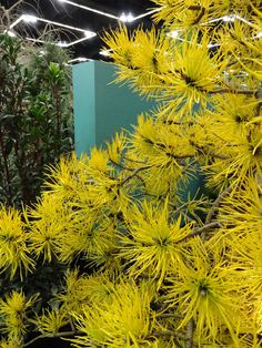 Photo #47562 | Pinus contorta 'Chief Joseph' | plant lust