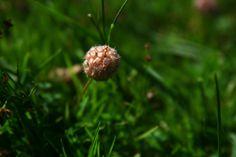 Trifolium fragiferum (strawberry clover)
