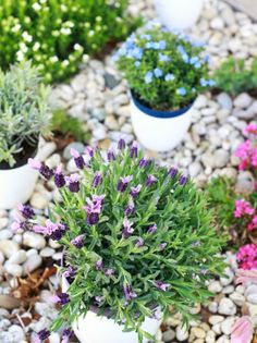 5 Fragrant Plants for a Small Space -   1. Lavender:  2. Scented Geranium:  3. Honeysuckle:  4. Gardenias:  5. Mint: