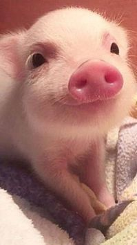 Cute Pictures Of Baby Wild Animals onto Cute Funny Baby Animals Videos per Pictures Of Cute Animals In The Wild yet Super Cute Animals Coloring Pages via Cute Cartoon Halloween Animals Cute Baby Pigs, Cute Piglets, Baby Animals Super Cute, Cute Little Animals, Cute Funny Animals, Cute Babies, Baby Piglets, Tiny Baby Animals, Baby Chipmunk