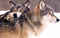 Lovin Wolves