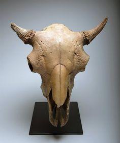 Prehistoric North American Fossilized Bison Skull