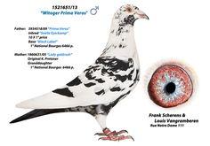 "Képtalálat a következőre: ""nico volkens racing pigeons"" Pigeon Post, Pigeon Bird, Pigeons For Sale, Pigeon Pictures, Homing Pigeons, Pigeon Breeds, Beautiful Birds, Wildlife, Racing"