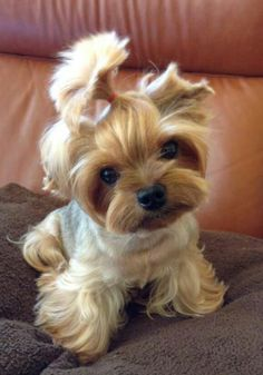 This is so cute!!!  Love the haircut and it slightly off centered top knot!!......yorkie