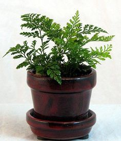 Growing our own ferns, repotting before the wedding into smaller terracotta pots spray painted with oil rubbed bronze spray paint and these will be the centerpieces at the wedding.