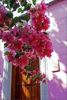 Bougainville or trinitaria flower   Mexico picture