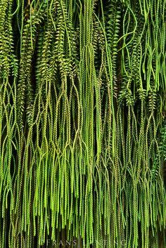 Common tassel fern, Huperzia phlegmaria, Marie Selby Botanical Garden, Sarasota, Florida