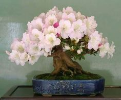 Bonsai trees have become a common choice for many home garden lovers. Bonsai trees also have become important attributes of home decor of late. Ikebana, Plantas Bonsai, Bonsai Azalea, Indoor Bonsai Tree, Bonsai Trees, Bonsai Flowers, Miniature Trees, Bonsai Garden, Succulents Garden