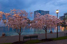 Cherry Blossoms At City Center in Newport News, VA