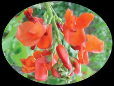 Scarlet runner bean is an annual vine. It puts out bright scarlet flowers all summer and will rapidly cover a trellis. It's available in pink and white varieties.  -needs full sun  -need more water  -for back yard on brick wall or over fence