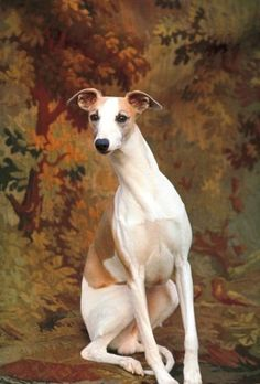 Whippet chosen Best in Show at the Westminster Kennel Club Dog Show, New York City, 1964.