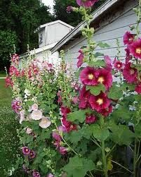Hollyhocks: one of my favorites out by the barn!