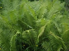 Kotkansiipi - Matteuccia struthiopteris Cabins In The Woods, Ferns, Plant Leaves, Garden, Plants, Garten, Flora, Plant, Lawn And Garden