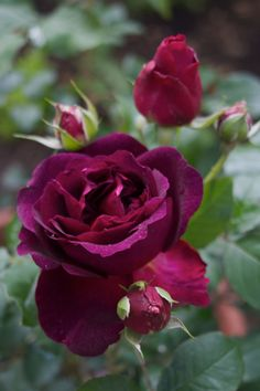 English Rose 'Munstead Wood'