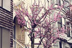 cherry blossoms in san francisco.
