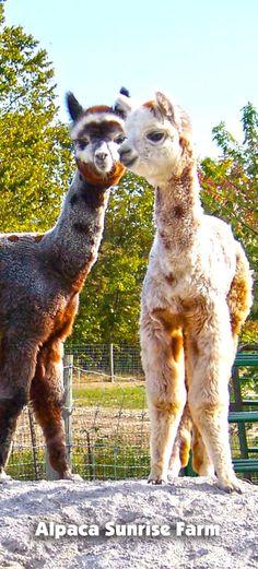 ALPACA CRIAS. Alpaca Sunrise Farm is a full-service Alpaca farm since 1998 • Alpaca sales • breeding • boarding • Alpaca raw fiber, yarn, roving sales for knitters, crocheters, weavers and fiber artists. www.AlpacaSunrise.com #alpaca #alpacas