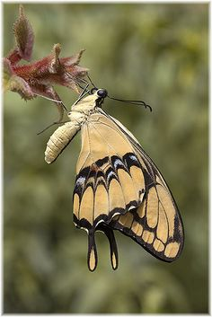 Papilio thoas butterfly (Citrus swallowtail) by butterflyman minster