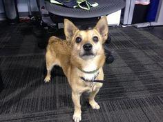 12 / 10     ***SENIOR****  Petango.com – Meet Duke, a 8 years Chihuahua, Short Coat / Welsh Corgi, Pembroke available for adoption in SALT LAKE CITY, UT Contact Information Address  2005 S 1100 E, SALT LAKE CITY, UT, 84106  Phone  (801) 574-2454  Website  http://www.utah.bestfriends.or g  Email  utahadoptions@bestfriends.org