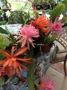 EPIPHYLLUM CACTUS ORCHID (5) FIVE CUTTINGS EACH 6 TO 10 INCH CUTTINGS #Cactus