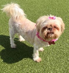 Meet Miss Cloud, an adoptable Shih Tzu looking for a forever home. If you're looking for a new pet to adopt or want information on how to get involved with adoptable pets, Petfinder.com is a great resource.