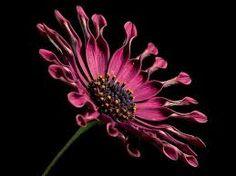Resultado de imagem para daisy flower