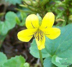 Viola Odorata amarela.  Zeldzame gele variant, ruikt meer citrusachtig. Ook zodenvormend
