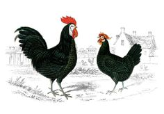 Free vintage graphic to print of a rooster and hen. The image is from a fabulous Circa 1854 Poultry book. Bookhttp://thegraphicsfairy.com/free-vintage-image-rooster-hen/