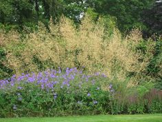 Stipa gigantea - ornamental grasses border - Google Search
