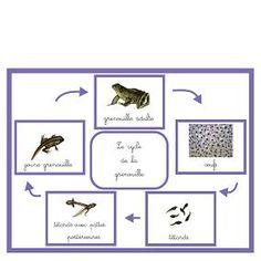Le cycle de la grenouille en + d'observations dans la nature . Grade 3 Science, Teaching Science, Calico Jack, Verb Conjugation, Document, Idioms, Life Cycles, Reggio, Creative Kids
